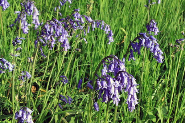 Yet more bluebells