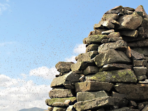Ant swarm Carrock Fell