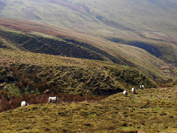 Sheep on the western slopes
