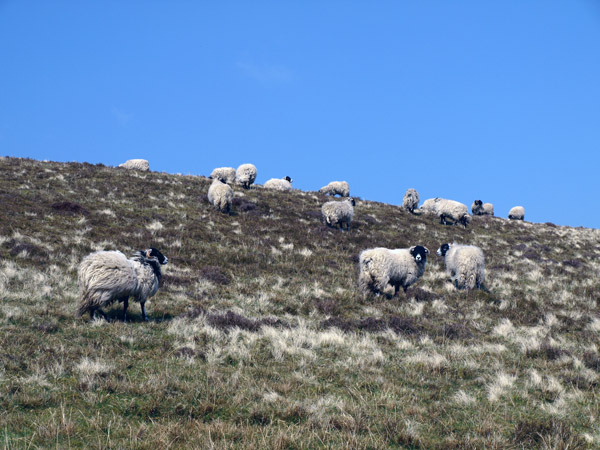 Fothergill Head ewes