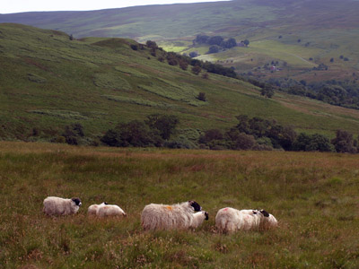 Geltsdale sheep