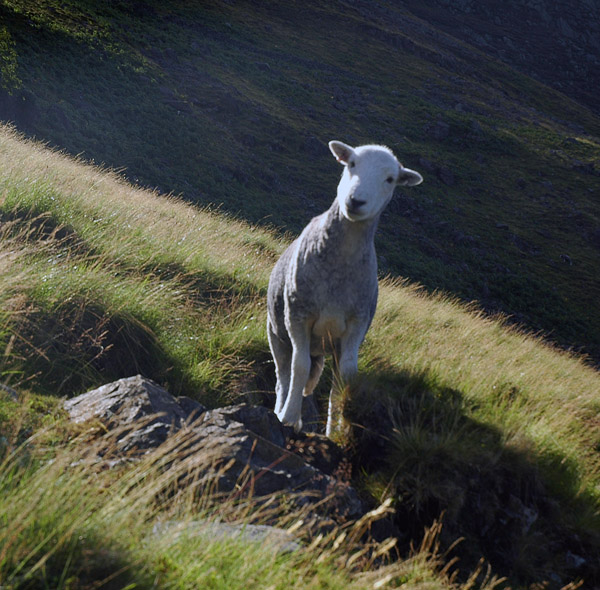 Who goes there? Ewe know who!
