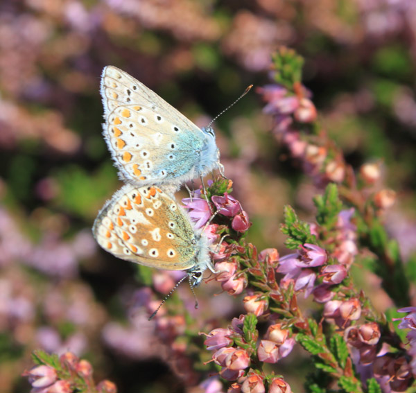 Common Blue butterflies coupling on North Head heather