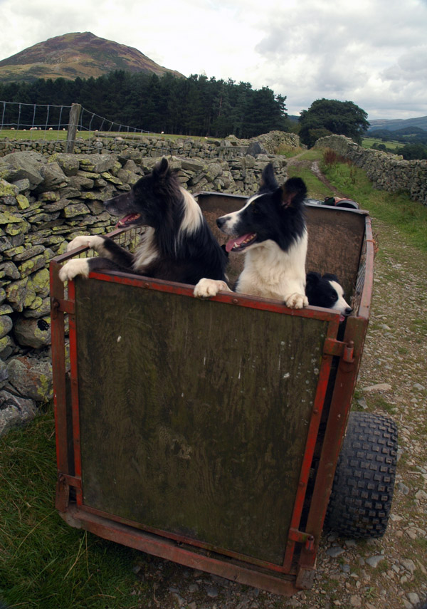Eager working dogs waiting for the call to action in the lane above Kirkgate Farm