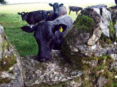 Young cattle looking at stile