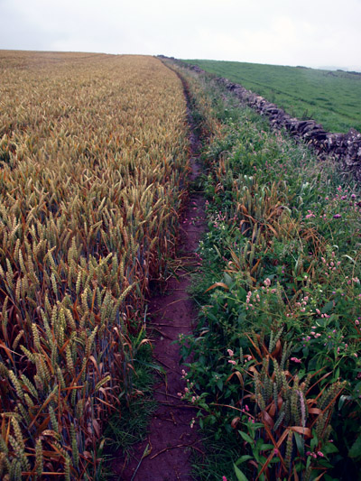 Path along edge of a crop of spring wheat