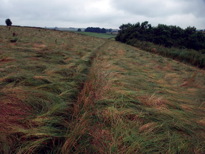 Lapping wave of un-cut ryegrass