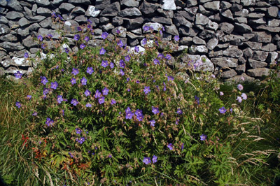 Meadow cranesbill in Fern Dale lane