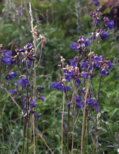 Jacob's Ladder growing wild in upper Lathkill Dale