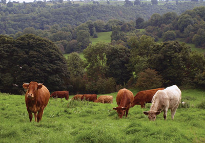 cattle in Town End pasture Bonsall