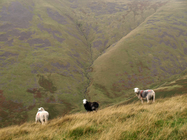Three ewes on the ridge directly above Rossy Gill