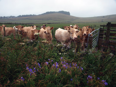 Moo to you, Charolais curious to see the wet walker pass by at Moneystones