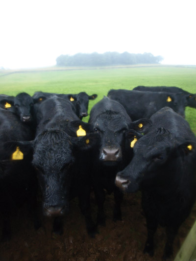 Aleck Low above a herd of steaming in the heavy rain black cattle
