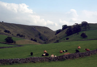 Stanshope cattle quietly chewing their cud, backed by Hall Dale
