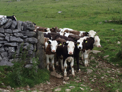 Inquisitive heifers on path down to Roystone Grange