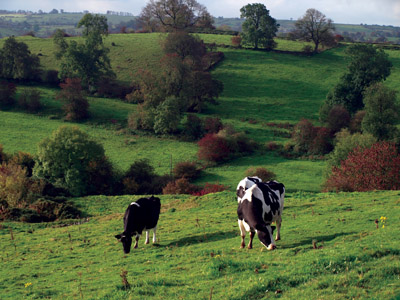 cattle in pasture below Warslow
