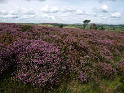 Heather in full bloom on Revidge