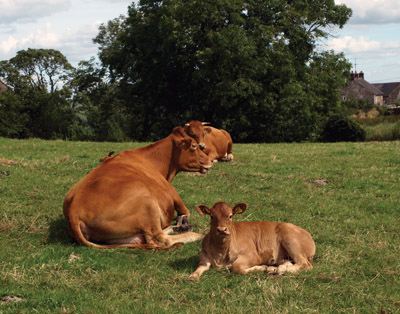 Guernsey cow and calf chewing their cud in a mid-village croft in Grindon