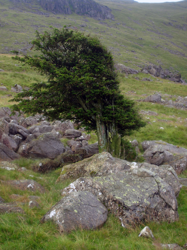 Lonesome yew below Scoat Tarn