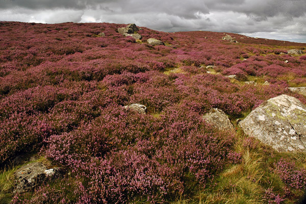 Heather in abundance on Lingmell End