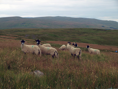 ewes on ascent of Thack Moor