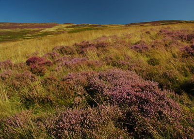 heather on Geltsdale flank
