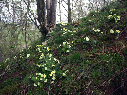 primroses Liddel Strength